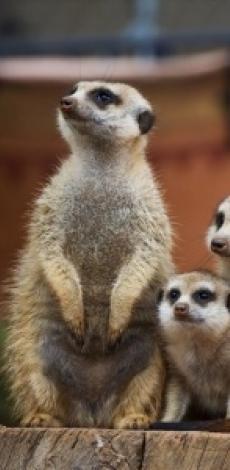 Meerkatten