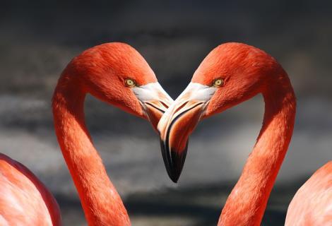 Uit welke taal komt het woord flamingo?